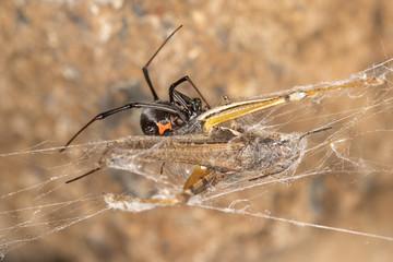 Black widow spider with prey