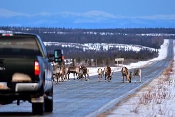Caribou Roadblock