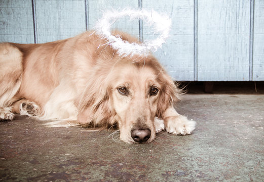 Golden retriever dog with a halo above its head