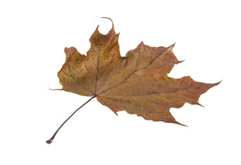 dried maple leaf isolated on white background