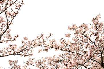 桜の花 白バック
