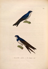 Illustration of swallows