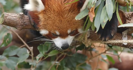 Wall Mural - Sleeping red panda