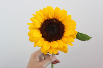 Beautiful sunflower with nature background