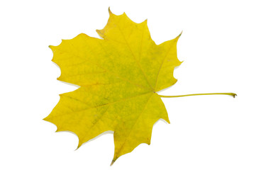 maple leaf yellow