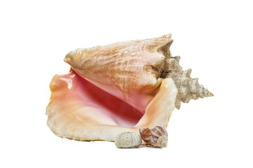 Queen Conch, sea snail and sea urchin