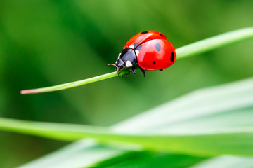 Macro photo of Ladybug in the green grass. Macro bugs and insects world. Nature in spring concept.