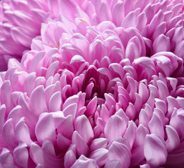 Pink chrysanthemum close-up. Macro photo.