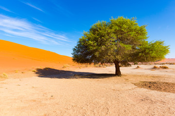 Sossusvlei Namibia, scenic clay salt flat with braided Acacia trees and majestic sand dunes. Namib Naukluft National Park, travel destination in Africa