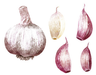 Garlic watercolor illustration, isolated on white