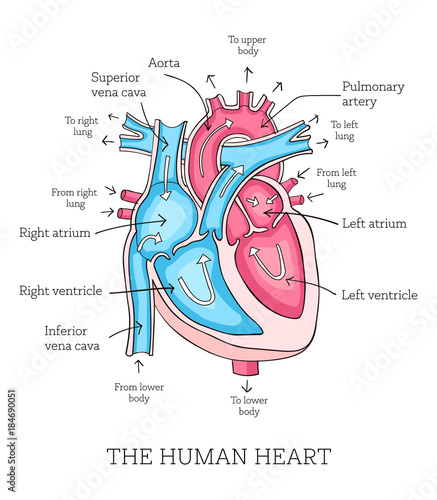 Hand Drawn Illustration Of Human Heart Anatomy Educational Diagram