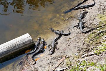 American baby alligators in Florida Wetland. Everglades National Park in USA. Little gators.