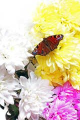 Chrysanthemums. Beautiful butterfly sits on a flower. White, pink and yellow chrysanthemums. Flowers on a white background.