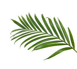 Printed kitchen splashbacks Palm tree Green leaves of palm tree isolated on white background