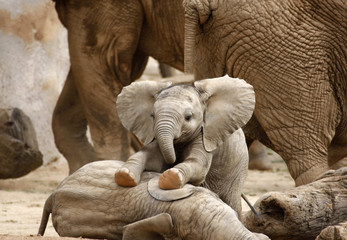 Fotorolgordijn Olifant Baby Elephants Playing