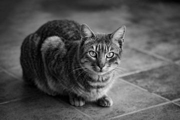 Tabby cat portrait in black and white