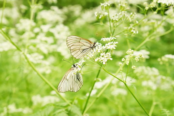White butterfly sitting on white flower