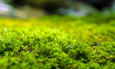 Wall Mural - Freshness green moss growing on floor with water drops in the sunlight