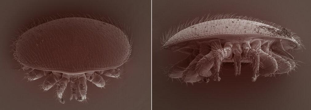 Varroa destructor bee parasite - an electron scanning microscope photo - Magnification 55x