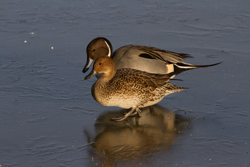 Pair of Pintail Ducks (Anas acuta) on Ice