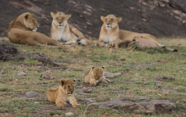 Lioness and cubs in Masai Mara