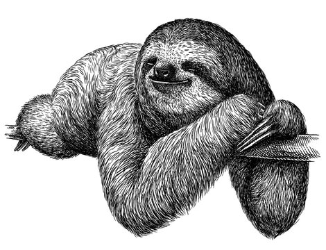 black and white engrave isolated sloth illustration