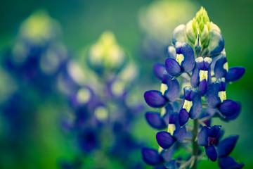 Texas Bluebonnet Spring Flowers