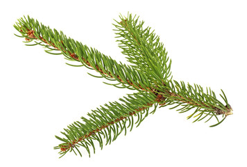Closeup of fir branch on a white background