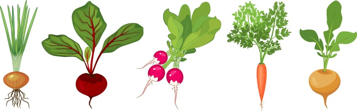 Set of different tuberous vegetables with tops on white background