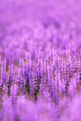 Purple Sea of Salvia Flowers Background