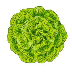 Green lettuce salad head top view