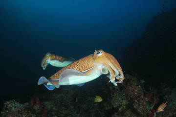 Pharaoh Cuttlefish pair on coral reef