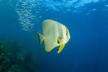 Spadefish fish (Batfish)