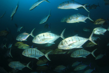 Trevally fish (Jackfish)