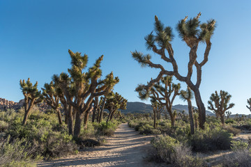 Wall Mural - Sandy Trail Through Joshua Tree Field