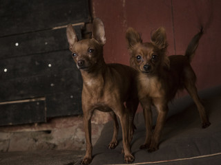 Two miniature dogs in front of a barn