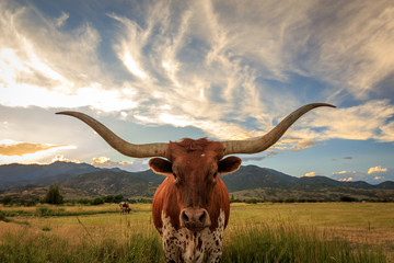 Texas Longhorn Steer in a sunset field.