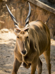 Image of Eland Antelope on nature background. Wild Animals.