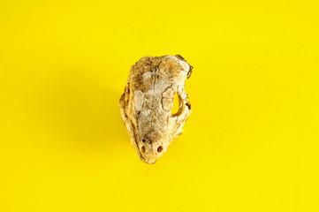 Canarian Dry Lizard Skull Bone