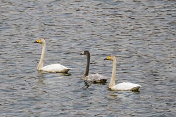 Whooper swans swimming in the lake in Korea