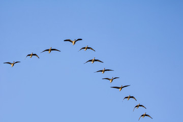 A flock of wild geese flying on the sky