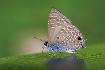 Image of common red flash butterfly (Rapala iarbus iarbus Fabricius, 1787) on nature background. Insect. Animal