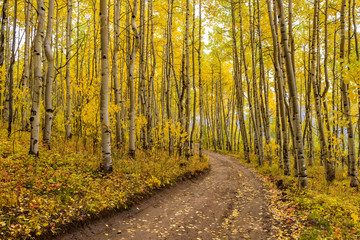 Autumn Aspen Grove - A unpaved hiking trail, curving through a dense autumn aspen forest, in Colorado Rockies.