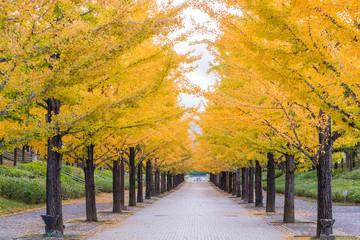 Ginkgo root in autumn season at Azuma sport park , Fukushima prefecture