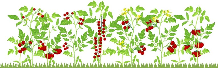Vegetable patch with fruiting tomato plants on white background