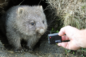 A curious common wombat (Vombatus ursinus) baby (joey) coming out of its burrow looking at a small camera held in a tourist's hand - Cradle Mountain, Tasmania Australia