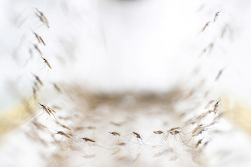 Anopheles minimus mosquitoes are pictured at a lab in the Public Health Ministry in Bangkok
