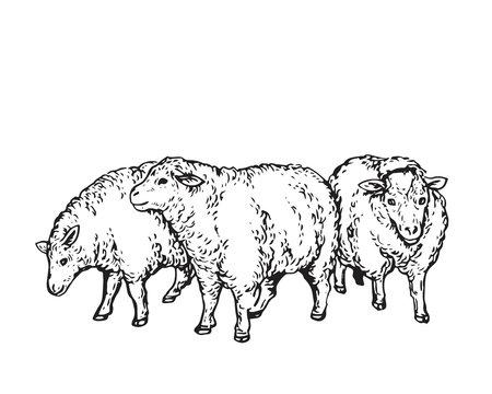 Vintage Hand Drawing Muslim Animal Qurban Group Sketch - Sheep