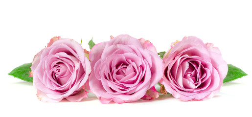 Roses in a row isolated on white background. Panoramic image