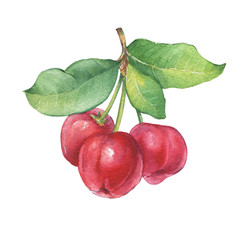 Branch of Acerola (Barbados cherry,  thai cherry, Malpighia glabra) with berries. Acerola tropical fruit - medicinal plant. Watercolor hand drawn painting illustration isolated on white background.